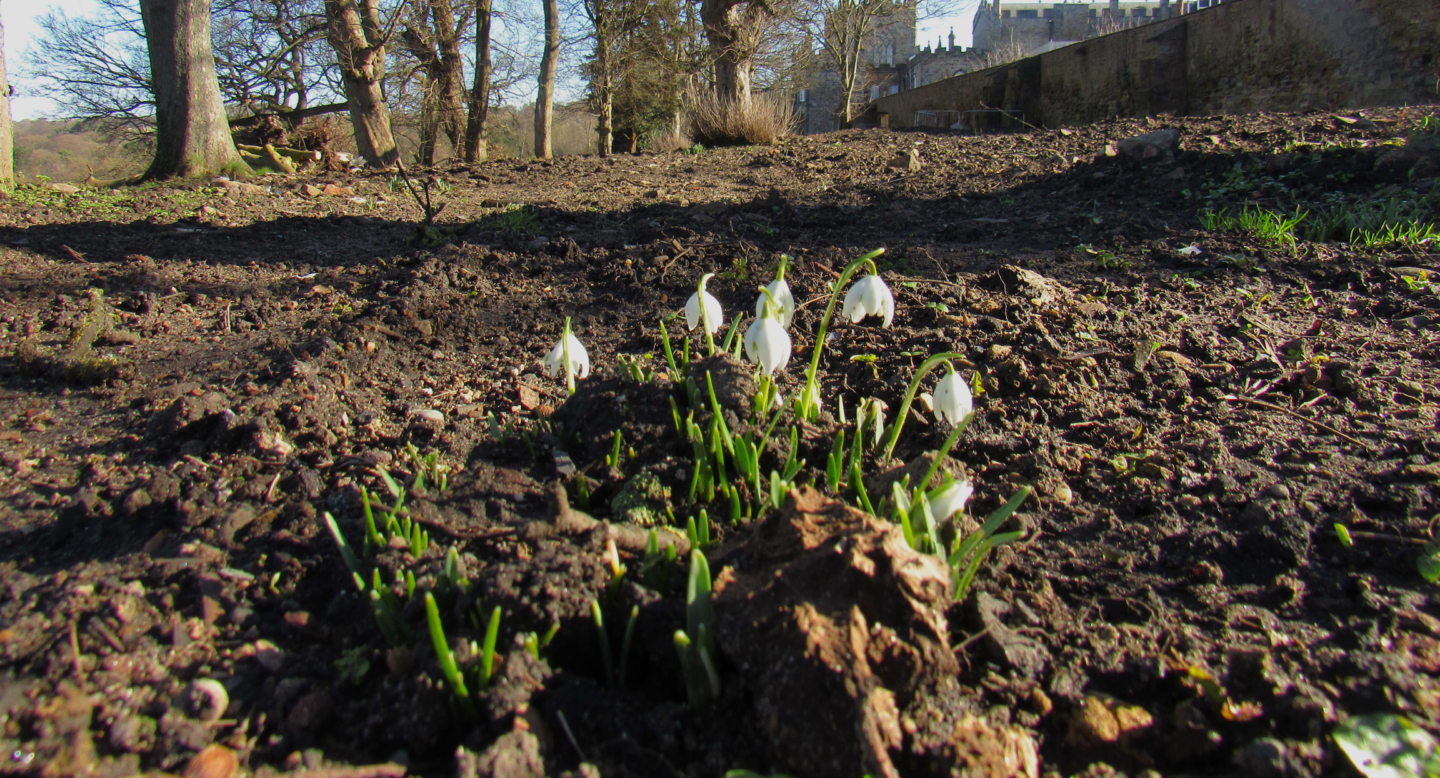 Snowdrops By A Tree